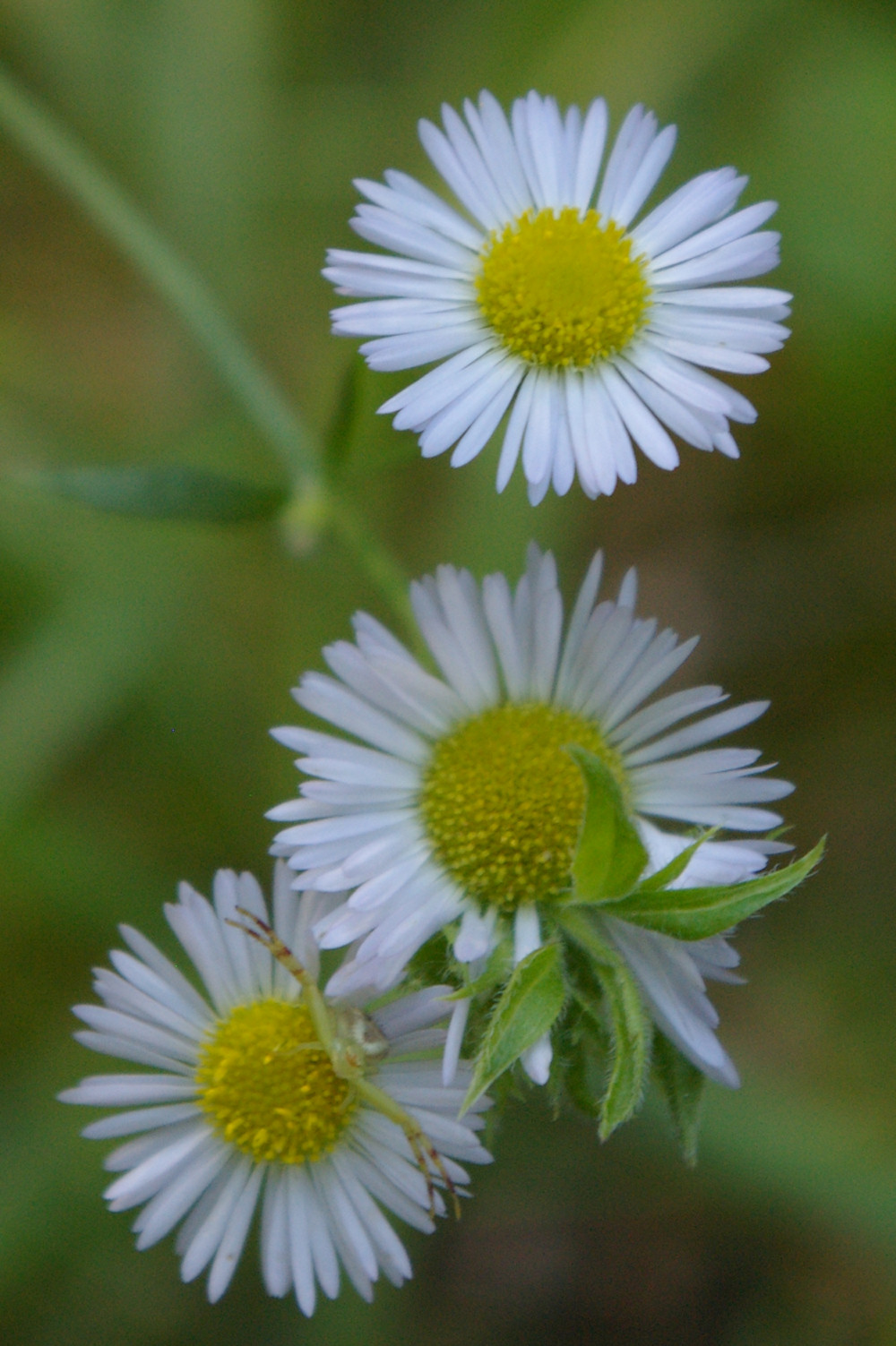 IMGP2741.jpg - Daisy fleabane  (Erigeron annuus (L.) Pers.)  with a Goldenrod Crab Spider