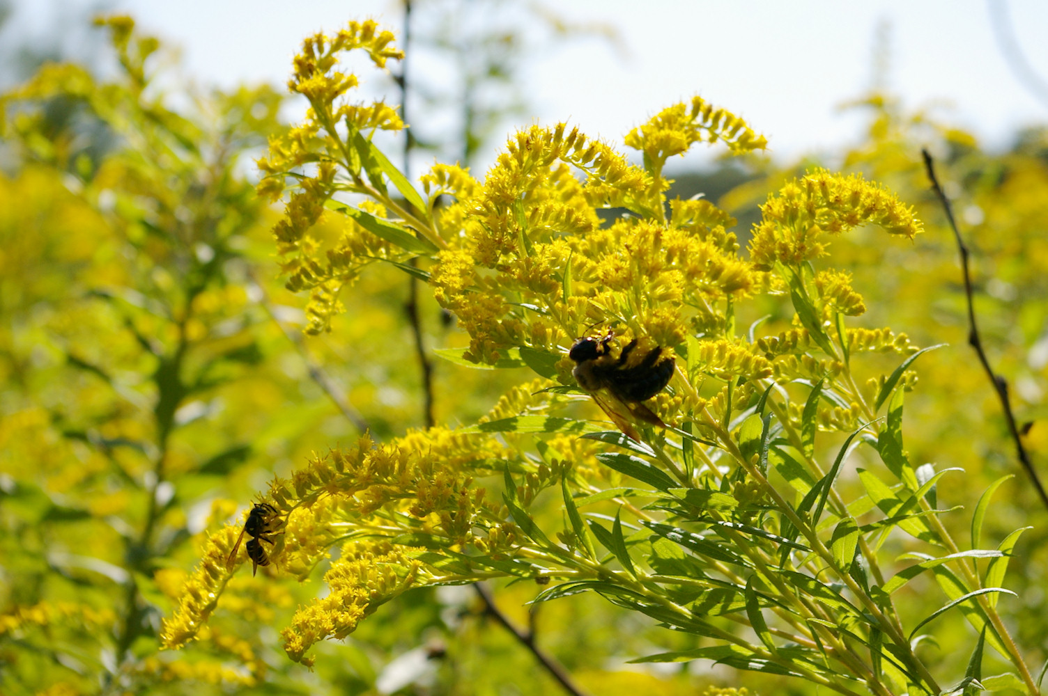 IMGP6430.jpg - Early goldenrod  (Solidago juncea)  with Bumble Bee & Wasp